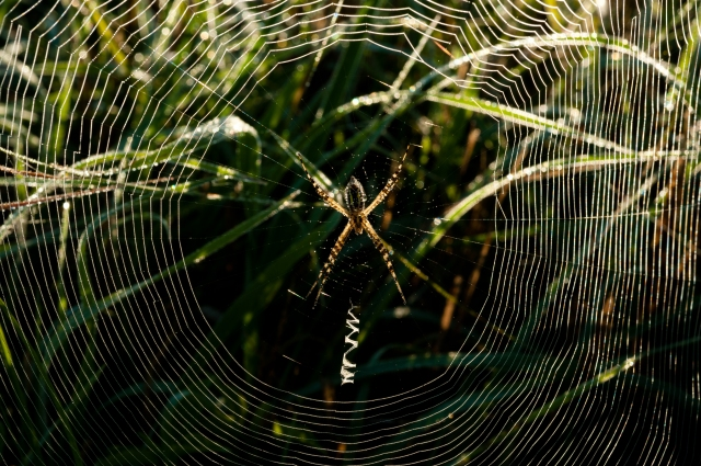 Spiderdew-051