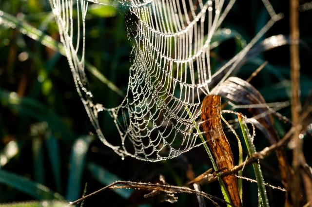 Spiderdew-071