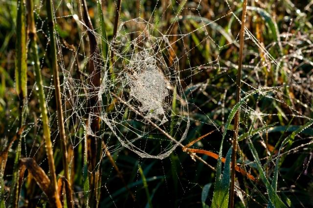 Spiderdew-079